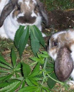 bunnies_eating_marijuana