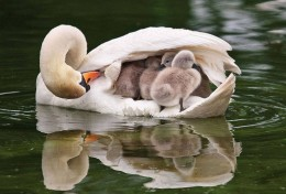 swanmother