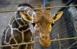 Marius the giraffe